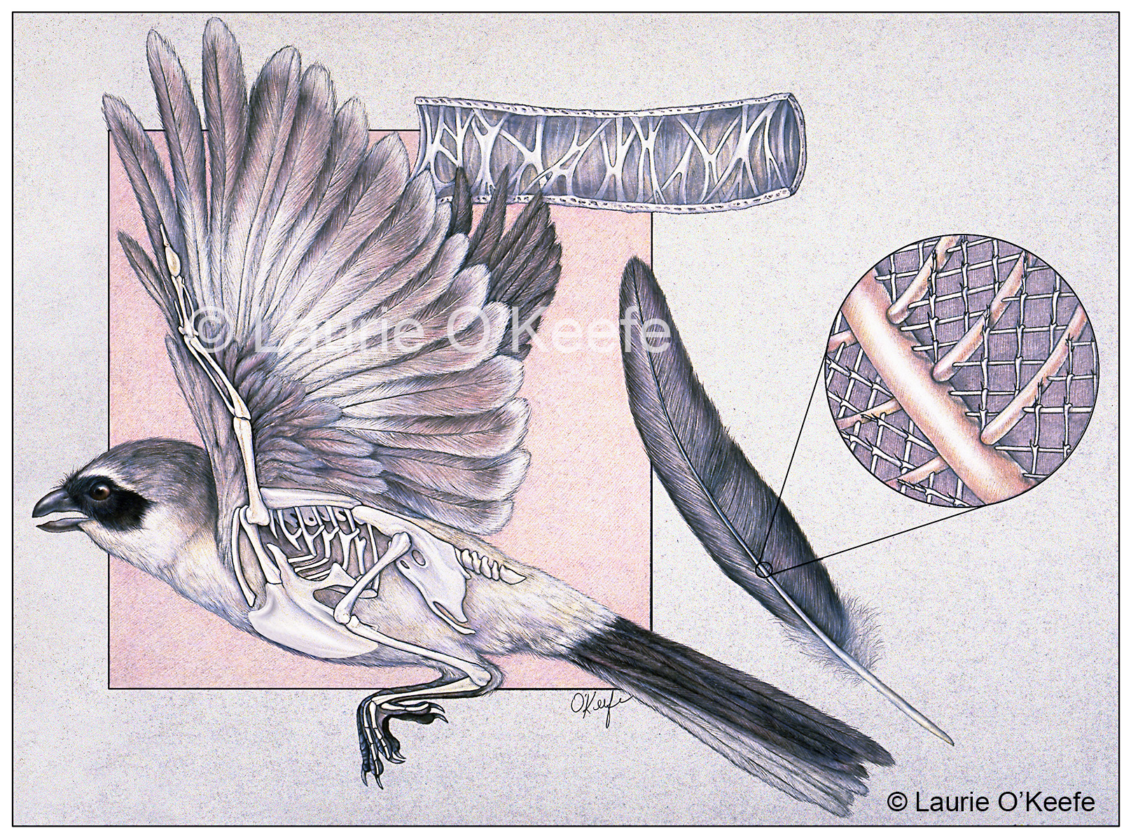 feather anatomy Archives - Laurie O\'Keefe Illustration