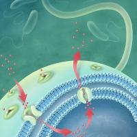 Bacterial Efflux Pump