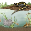 Salamander Life Cycle