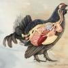 Black grouse internal bird anatomy
