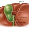 Gallbladder and Duct Variations