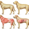Dog Anatomy- Skeletal, Muscular, Internal Organs